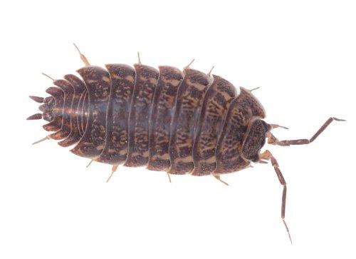sowbug - removal